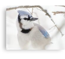 Blue Jay in Winter Canvas Print