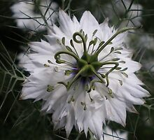 Nigella (Love in a Mist) (photograph) by Jacki Stokes