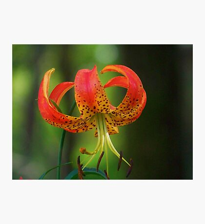 Turk's Cap Lily Photographic Print