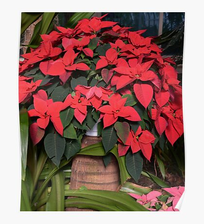 Basket Of Poinsettia Poster