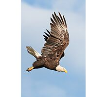 Bald Eagle - Diving Photographic Print