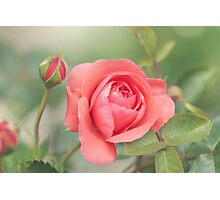Summer Rose Photographic Print