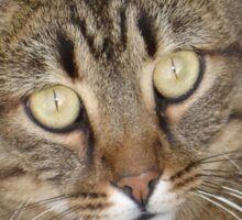 Cute Tabby Cat Portrait Sticker