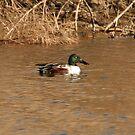 Northern Shoveler Duck. by mikepemberton