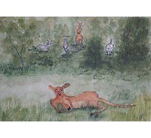 Kangaroos. Photographic Print
