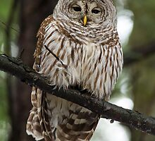 Barred Owl Perched on a Hemlock by Bill McMullen