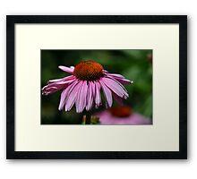 Echincea Flower Framed Print