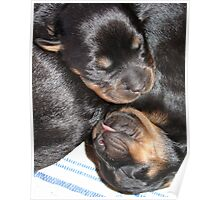 A Beautiful Dreamer In A Litter of  Rottweiler Puppies Poster