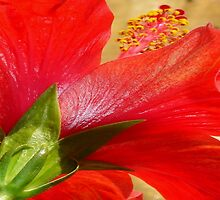 Back View of A Beautiful Bright Red Hibiscus Flower by taiche