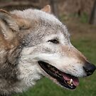 Wise old wolf by nigelphoto