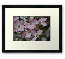 Spring Pink Dogwood Trees Framed Print