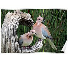 Rooiborsduifies / Laughing doves Poster