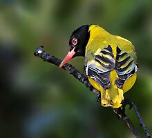 black headed oriole by ajay2011