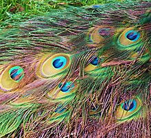 Peacock Feathers by Lawrence Dyer