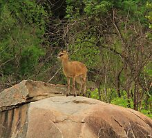 Duiker Common by croust