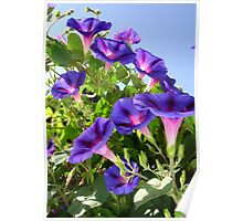 Deep Purple Morning Glory Climbing Plant Poster