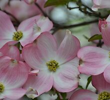 Pretty Pink Dogwood Flowers by pencreations