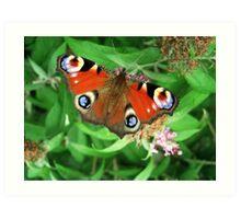 Peacock Butterfly on Buddleia Davidii Art Print