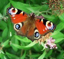 Peacock Butterfly on Buddleia Davidii by Lawrence Dyer