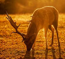 The Morning Deer by samcmoore