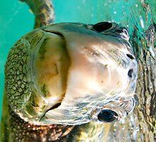 Sea turtle in Hawaii by AkimaTsurugi