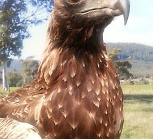 Wedge Tailed Eagle by Judi Rustage