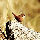 canyon wren by Allan  Erickson