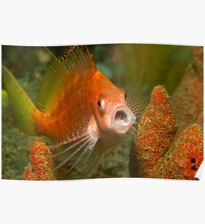 Fly Point Yawning Hawkfish Poster