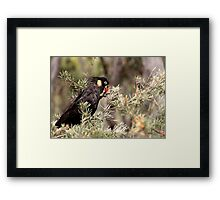 Yellow Tailed Black Cockatoo (Male) Framed Print