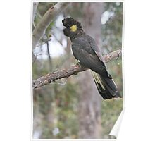 Yellow Tailed Black Cockatoo (Female)  Poster