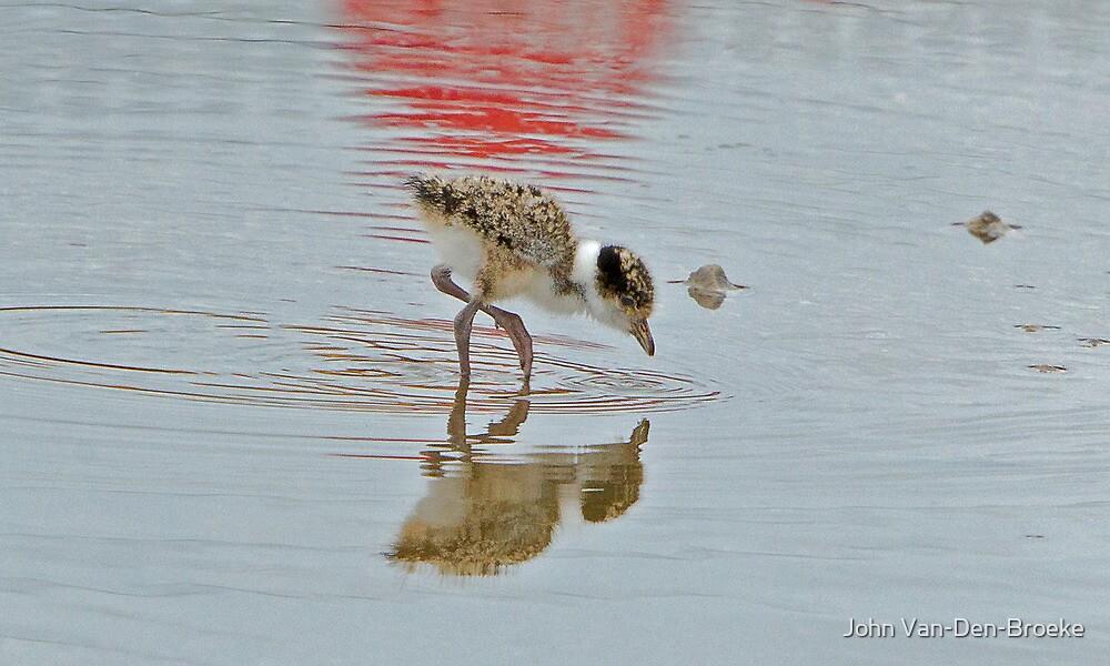 Baby  Spurwinged  Plover   5 by John Van-Den-Broeke