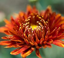 A red flower by arjurahman