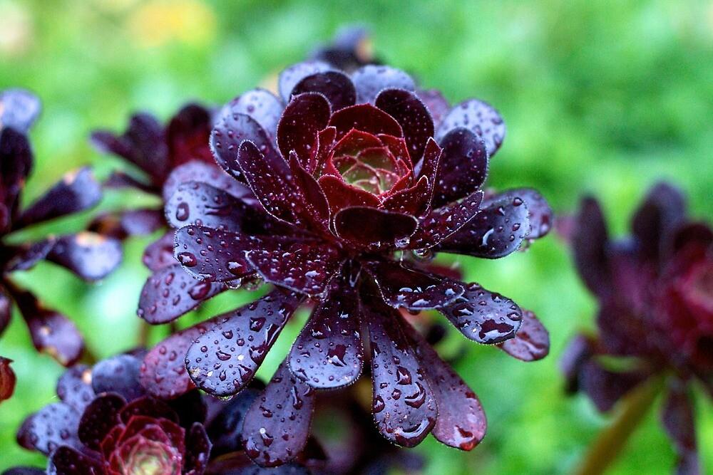 Dewdrops on Purple Aeonium by Astrelis