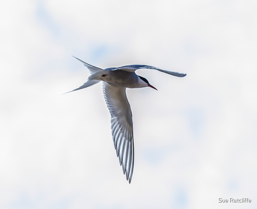 Arctic Tern by Sue Ratcliffe