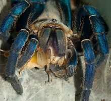Cobalt blue tarantula feeding on cricket by Kawka