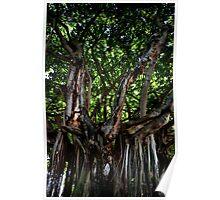 Florida Mangrove Tree Poster