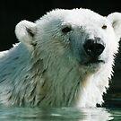 Polar Bear by Sam Scholes