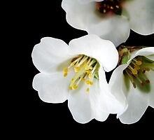 Falling White Blossom by Kerry  Youde