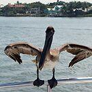 Wafting Pelican by John Maxwell