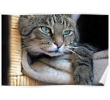 Tabby Reclining Poster