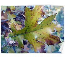 Tired Old Oak Leaf Poster