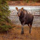 Moose Calf by JamesA1