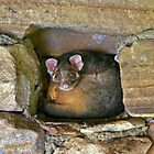 Possum in the Wall by Erland Howden