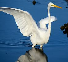 Blue and White  (Great White Egret) by TJ Baccari Photography
