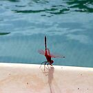 Dragonfly in Cyprus by John Maxwell