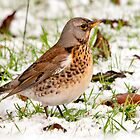 Winter Fieldfare by M.S. Photography/Art
