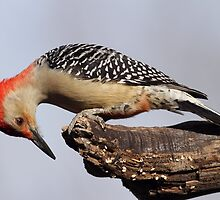 Curious Red Bellied Woodpecker by Gregg Williams