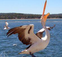 Pelican feeding Sticker