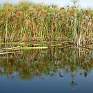 Papyrus Reflections in Okavango by Margaret  Hyde
