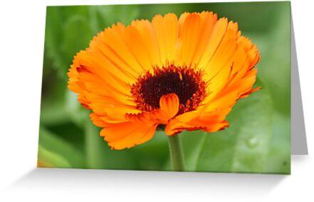 Orange Beauty. by Greybeard